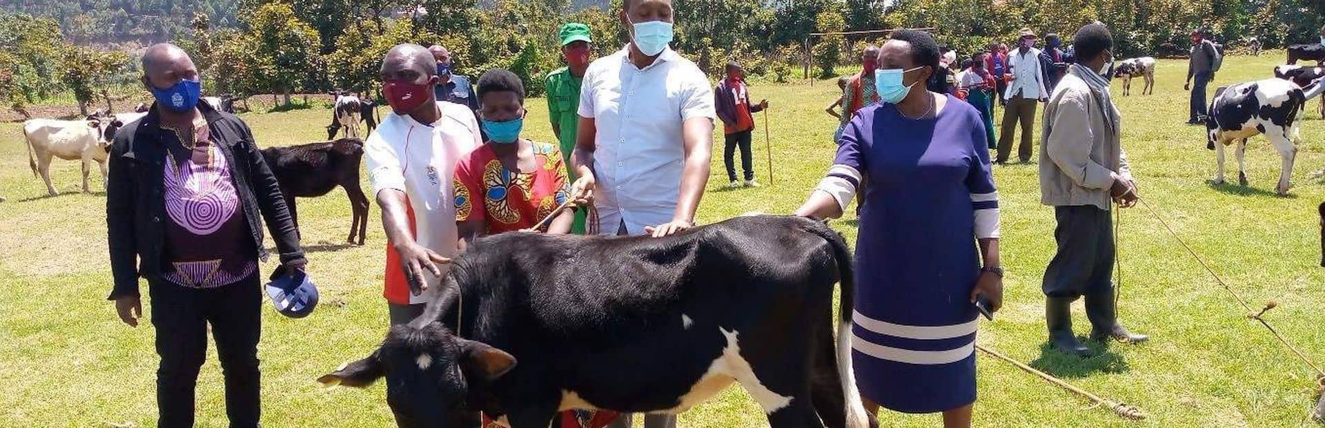 Koe in Rwanda Heifer